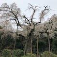 3月末、小田原長興山紹太寺にて。 樹齢は340年以上、歴史のある桜です。ちょうど見頃でした。