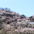 福島県花見山公園