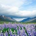 6月のアイスランドはルピナスがそこら中に咲いていてとっても綺麗🌷