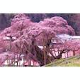 三春の滝桜。日本三大桜。