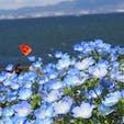 ネモフィラ祭り  大阪まいしまシーサイドパーク! 一面青でめっちゃ綺麗やった〜  #大阪#まいしまシーサイドパーク#ネモフィラ祭り