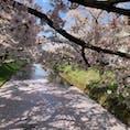 2019.4.28 弘前公園 外濠の花筏です🌸 今日は晴天に恵まれ、絶好のお花見日和でした🌸