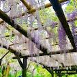 奈良の春日大社の藤棚です^^ GWに満開になりました!