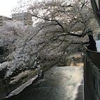 東京都板橋区の今年の桜🌸