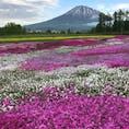 北海道 倶知安町の芝桜と羊蹄山