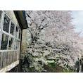 南小樽駅の満開の桜