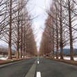 [滋賀県] メタセコイヤ並木