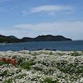 5月ごろのフラワーパーク浦島は マーガレットが咲き乱れております🐽