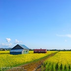 北海道滝川市の菜の花畑は、作付面積日本一!毎年5月下旬から6月上旬が見頃です。イベント会場にもなる丸加高原伝習館の周辺にある3カ所の畑のみ、菜の花の中に入って撮影することが許されており、花に包まれた写真が撮れます🌼