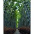 京都の竹林