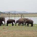 スリランカ ミンネリア国立公園   野生の象に会えます🐘