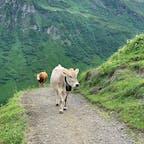 スイス、ミューレンからの二時間のトレッキング 一通なのに牛に遭遇