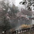 雪と桜と井の頭公園🌸❄️