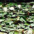 高野山の睡蓮です。