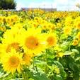 武蔵村山のひまわり🌻 都心でも沢山咲いたひまわり畑見れますよ!