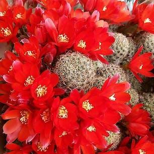 病気になった時、イタリアの友人が送ってくれた、サボテンの花の写真。気分が明るくなります。