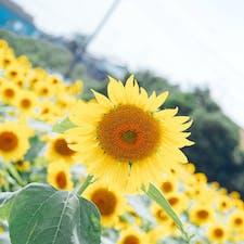 2019/08/01 蓮田ひまわり畑 蓮田根金ひまわり畑 ③
