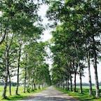 十勝牧場の白樺並木道
