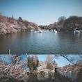 井の頭公園の桜🌸今週が見頃ですキレイでした〜