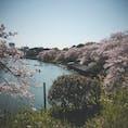千鳥ヶ淵の桜🌸散り桜と菜の花がとっても綺麗でした!来週には葉桜かなぁ。