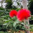 由布島 オオベニゴウカンの花