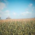 モンサンミッシェルとトウモロコシ畑