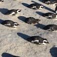 みんな!ふせろ!! 南アフリカ ボルダービーチ