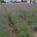 富良野のファーム富田。 ラベンダーの見頃は少し過ぎていましたが、一面紫色でとても綺麗でした🌷