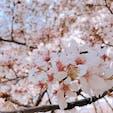 砧公園(東京都世田谷区) 1週間前の写真なのでもう桜は散っているかも…? 家族連れが多い印象で、のんびりお花見できてよかったです🌸