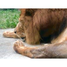 #ライオン #安佐動物園 #安佐動物公園 #広島 #8月