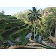 Bali🌴 #ricefield #ubud #bali