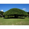 宮古島のホテル 大きな木 ガジュマルの木