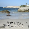 南アフリカ/ボルダーズビーチ 野生の可愛いペンギンが間近で見れて感激。