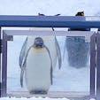 北海道 旭山動物園 ペンギンパレード直前。 ゲートが開いて出発するまであと3分。トップのこの子は、ピシッと体勢を整えて待っていましたよ。辺りを払うような風格さえかんじたなあ。後ろ向きの子もいましたけどね^_^