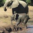 ボツワナ/チョベ国立公園 野生の赤ちゃん象さん。産まれて間もない感じ。動物の赤ちゃんが見られるとお得な気がしちゃいます。