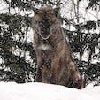 北海道 旭山動物園 野生を忘れていない感じの眼光
