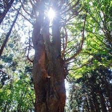 幻想の森の大杉