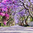 johanesburg,South Africa🇿🇦 今の時期、ジャカランダが見頃です💜