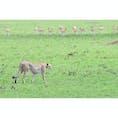 Masaimara National Deserve,Kenya🇰🇪 チーターの狩りも見れました.