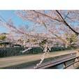 熊本城の桜🌸