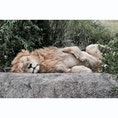 Masai Mara national reserve,Kenya🇰🇪  目の前でライオンが寝てました🦁💤