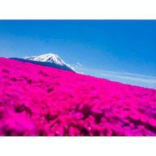 山梨 芝桜〜富士をバックに〜
