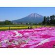 北海道 三島さんの芝桜庭園