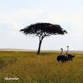 タンザニア* サバンナで出会ったお散歩中のダチョウ様ご夫妻。 ほのぼのと絵になる姿にホッコリ✨
