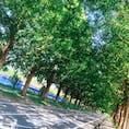 滋賀 高島町 メタセコイア並木
