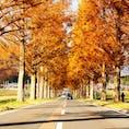 メタセコイア並木  四季折々の風景が見られる場所。 秋は紅葉。  #滋賀#マキノ高原#メタセコイア並木#紅葉