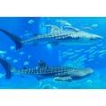 美ら海水族館 今年の2月に沖縄に行った時に、ジンベエザメ見たさに美ら海水族館に行きました。 ちょうど2頭並んで泳いでくれました✨  #沖縄県 #美ら海水族館