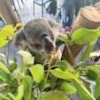 #ハートレイズ・クロコダイル・アドベンチャーズ #ケアンズ #オーストラリア  2019年12月  コアラと一緒に朝ごはん🐨🌿 この後だっこもさせてもらってメロメロになった💕