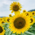 明野ひまわり畑  1番大好きなお花🌻