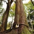2018.11.03 🏕:御神木(京都/貴船神社) 📷:EOS kiss x9i 樹齢1000年以上とのこと (見切れてますが、上もかなり大きかったです)